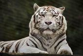 White tiger (Panthera tigris tigris). Wild life animal. poster