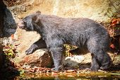 Asian Black Bear Or Asiatic Black Bear Walking Near The Water In Summer Time poster