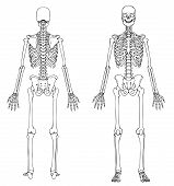 stock photo of dead-line  - Medically accurate line drawing of a human skeleton - JPG