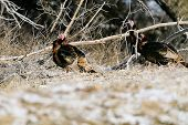 Wild Turkeys Forage For Food Amongst The Trees At Lake Scott State Park, In Western Kansas, February poster