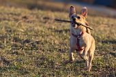 Cute Little Brown Rat Terrier Chihuahua Mix Dog Catching A Wooden Stick In Midair On Dry Meadow Gras poster