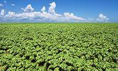 stock photo of potato-field  - a Green potato field - JPG