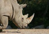 Постер, плакат: Глава носорог