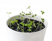 Marjoram (origanum Majorana) Seedlings In White Pot. Old-sensitive Perennial Herb With Sweet Pine An poster