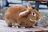 A Small, Red-haired, Fluffy, Domestic Rabbit Sits On A Wooden Bench On A City Street. Pets. poster