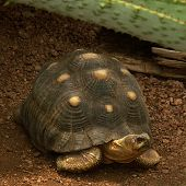 picture of the hare tortoise  - This is an image of a small land tortoise - JPG