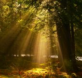 View Of Sunrays In The  Backwoods Of Conifer Forest poster