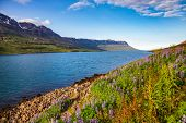 Wild Lupinus on a shore of scenic Seydisfjordur fjord in Eastern Iceland, Scandinavia poster