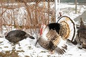 Turkey Large-sized Poultry With A Large Beautiful Tail Farming For Design poster