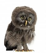 picture of laplander  - Great Grey Owl or Lapland Owl - JPG