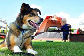 picture of sled-dog  - A happy friendly German Shepherd dog is laying at a campground by a tent and fireplace as a baby plays in the background - JPG