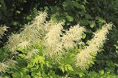 image of meadowsweet  - Blooming Spirea  - JPG