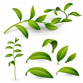 Branch of a plant with green leaves isolated on white background. Vector illustration for design