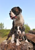 pic of puppies mother dog  - mother and her puppy purebred german boxer - JPG