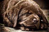 stock photo of chocolate lab  - Sleeping chocolate labrador puppy - JPG