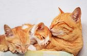 stock photo of snoopy  - Mother cat and kittens sleeping on the table - JPG