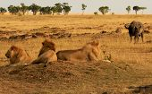 picture of african lion  - KENYA  - JPG