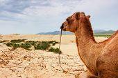 stock photo of mongol  - Camel resting on Mongol Sand Dune in central Mongolia - JPG