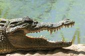 foto of leech  - A West African Crocodile  - JPG
