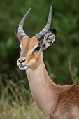 image of antelope horn  - Portrait of an alert young impala antelope in Africa - JPG