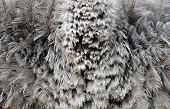 stock photo of ostrich plumage  - this is a textured of an ostrich feather - JPG