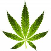 pic of marijuana leaf  - Artistic green cannabis leaf on white background - JPG