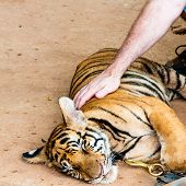 pic of tiger cub  - Young tiger cub in famous Tiger Temple in Kanchanaburi Thailand - JPG