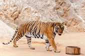 image of tigress  - Beautiful specimen of bengal tiger at the Tiger Temple in Kanchanaburi Thailand