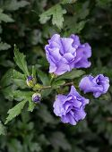 stock photo of rose sharon  - Closeup of blue purple buds and flowers of a Rose of Sharon or Hibiscus shrub in its natural habitat - JPG