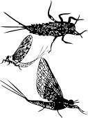 picture of mayfly  - silhouette of may fly nimph imago vector - JPG