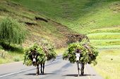 picture of wild donkey  - Two Donkeys loaded with Wild Flowers on a Road in Southern Africa - JPG