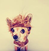 foto of pal  - a tiny chihuahua in a lion costume toned with a retro vintage instagram filter  - JPG
