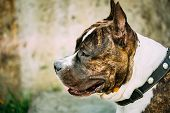 picture of american staffordshire terrier  - Nice Adult Dog American Staffordshire Terrier Outdoor Close Up - JPG