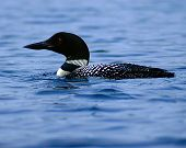 picture of loon  - photo of a single loon - JPG