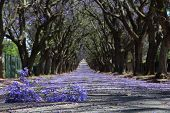 picture of tree lined street  - Suburban road with line of jacaranda trees and small branch with flowers on - JPG
