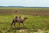 picture of hump day  - Kazakh camels in a field with grass - JPG