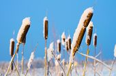stock photo of cattail  - Cattail in the snow against the blue sky - JPG