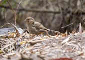 image of mockingbird  - California Towhee spotted in Golden Gate Park San Francisco - JPG