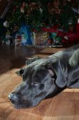 pic of great dane  - Early nap for a black Great Dane next to a Christmas tree - JPG