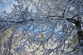 pic of blanket snow  - thin blanket of snow on the branches of a deciduous tree - JPG