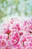 picture of azalea  - Pink blooming azaleas bush with flowers petals - JPG