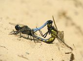 image of copulation  - Photo of two green dragonflies on sand