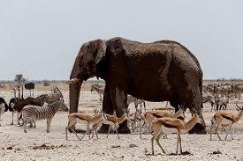 stock photo of herbivore animal  - African elephants drinking at a muddy waterhole with other animals Etosha national Park Ombika Kunene Namibia - JPG