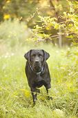 picture of seeing eye dog  - Beautiful Black Labrador Retriever standing in a field under a tree - JPG