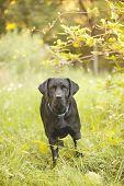 foto of seeing eye dog  - Beautiful Black Labrador Retriever standing in a field under a tree - JPG