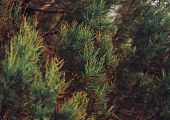 foto of juniper-tree  - Close - JPG
