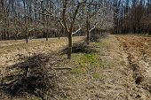 stock photo of orchard  - Plum orchard on springtime cleaning with piles of cut branches after the pruning activity - JPG