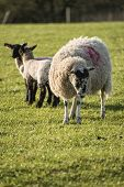 pic of spring lambs  - Beauitful landscape image of Spring lambs and sheep in fields during late evening light - JPG