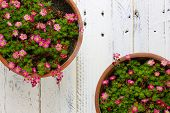 image of paint pot  - Sedum Saxifrage pink flowers blossom with rocks in clay pot on white painted wooden background - JPG