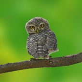 stock photo of owl eyes  - Beautiful Owl bird (Spotted owlet) perching on a branch